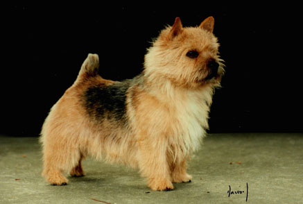 norwich terrier breeder