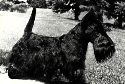 scottish terrier breeder